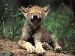 Loups038