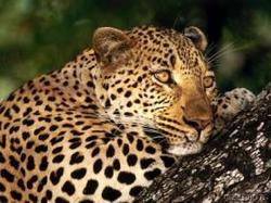 Leopard27octobre