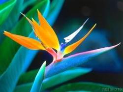 Bird_of_paradise_hawaii_1
