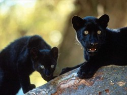 Black20african20leopards