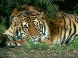 Real_4121_resting_tiger