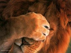 Real_lion_paf_le_front