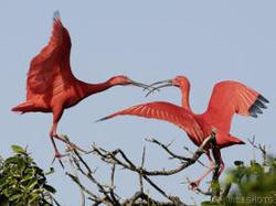 Scarlet_ibises_venezuela